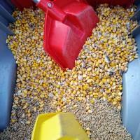 Ziarna kukurydzy i pszenicy